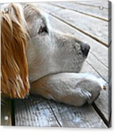 Golden Retriever Dog Waiting Acrylic Print