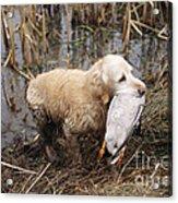 Golden Retriever Dog With Mallard Duck Acrylic Print