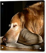 Golden Retriever Dog With Master's Slipper Acrylic Print by Jennie Marie Schell
