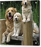 Golden Retriever Dog With Puppies Acrylic Print