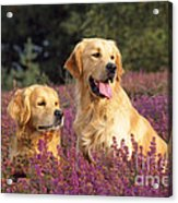 Golden Retriever Dogs In Heather Acrylic Print