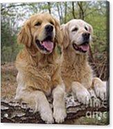 Golden Retriever Dogs Acrylic Print