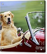Golden Retriever In Car Acrylic Print