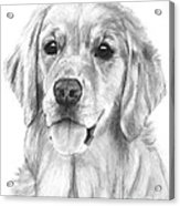 Golden Retriever Jessie Adult Acrylic Print by Kate Sumners