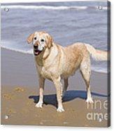 Golden Retriever On Beach Acrylic Print