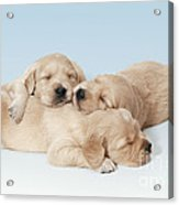 Golden Retriever Puppies Asleep Acrylic Print