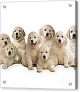 Golden Retriever Puppies, In A Line Acrylic Print
