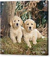 Golden Retriever Puppies In The Woods Acrylic Print