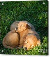 Golden Retriever Puppies Sleeping Acrylic Print by Linda Freshwaters Arndt