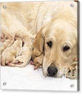 Golden Retriever Puppies Suckling Acrylic Print