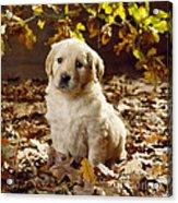 Golden Retriever Puppy Dog In Fallen Acrylic Print