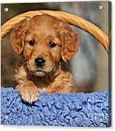 Golden Retriever Puppy In A Basket Acrylic Print