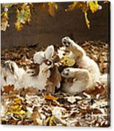Golden Retriever Puppy In Leaves Acrylic Print