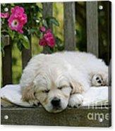 Golden Retriever Puppy Sleeping Acrylic Print