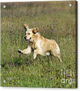 Golden Retriever Running Acrylic Print