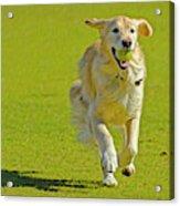 Golden Retriever Running On A Green Acrylic Print