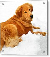 Golden Retriever Snowball Acrylic Print by Christina Rollo