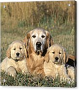 Golden Retriever With Puppies Acrylic Print