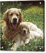Golden Retrievers Dog And Puppy Acrylic Print
