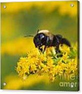 Golden Rod And Bumblebee Acrylic Print