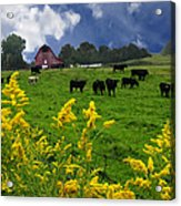 Golden Rod Black Angus Cattle  Acrylic Print