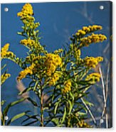 Golden Rods At Northside Park Acrylic Print