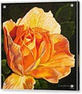 Golden Rose Blossom Acrylic Print