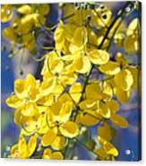 Golden Shower Tree - Cassia Fistula - Kula Maui Hawaii Acrylic Print