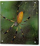 Golden Silk Spider 10 Acrylic Print