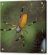 Golden Silk Spider 9  Acrylic Print