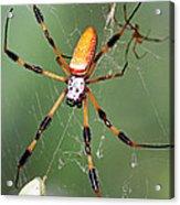 Golden Silk Spider Capturing A Stinkbug Acrylic Print