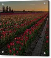 Golden Skagit Tulip Fields Acrylic Print