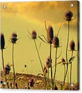 Teasels Reach For The Golden Sky Acrylic Print