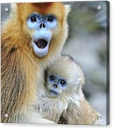 Golden Snub-nosed Monkey And Young China Acrylic Print