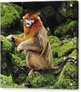 Golden Snub-nosed Monkey Male China Acrylic Print