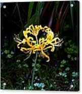 Golden Spider Lily Acrylic Print