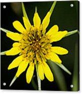 Golden Star Flower Yellow Salsify Glacier National Park Acrylic Print