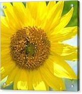 Golden Sunflower - 2013 Acrylic Print