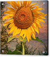 Golden Sunflower Acrylic Print by Adrian Evans