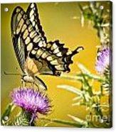 Golden Swallowtail Acrylic Print
