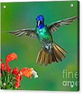 Golden-tailed Sapphire At Flower Acrylic Print