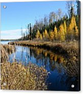 Golden Tamaracks Acrylic Print