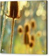 Golden Teasels Acrylic Print