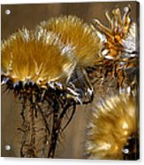 Golden Thistle Acrylic Print by Bill Gallagher