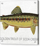 Golden Trout Of Soda Creek Acrylic Print by Aged Pixel