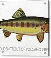 Golden Trout Of Volcano Creek Acrylic Print