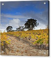 Golden Vines Acrylic Print