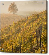 Golden Vineyard And Tree Acrylic Print