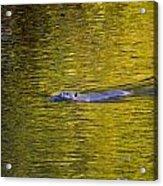 Golden Waters Acrylic Print
