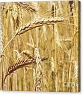 Golden Wheat  Acrylic Print